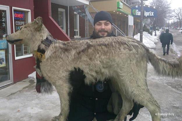 David-Maxime récupérant le loup de Fourrures Falardeau.