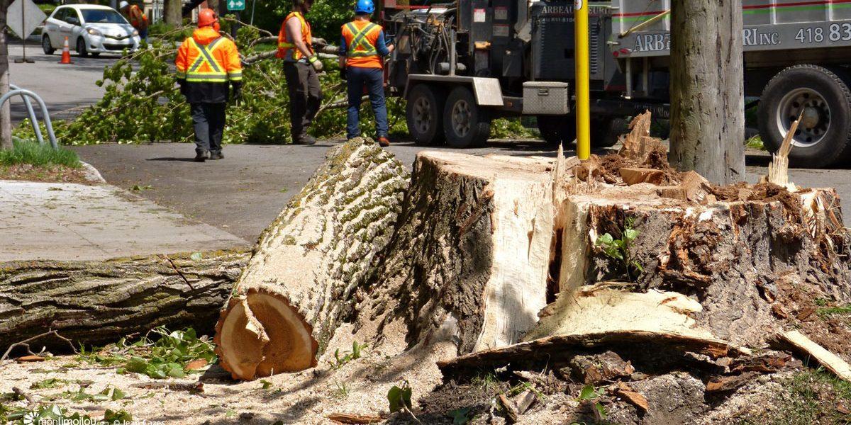 Abattage d'arbres sur le boulevard des Alliés : un enjeu de sécurité | 3 juin 2017 | Article par Jean Cazes