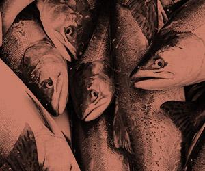 Saumon fumé à froid et au bois d'érable | Miyagi Bistro thaï et sushi