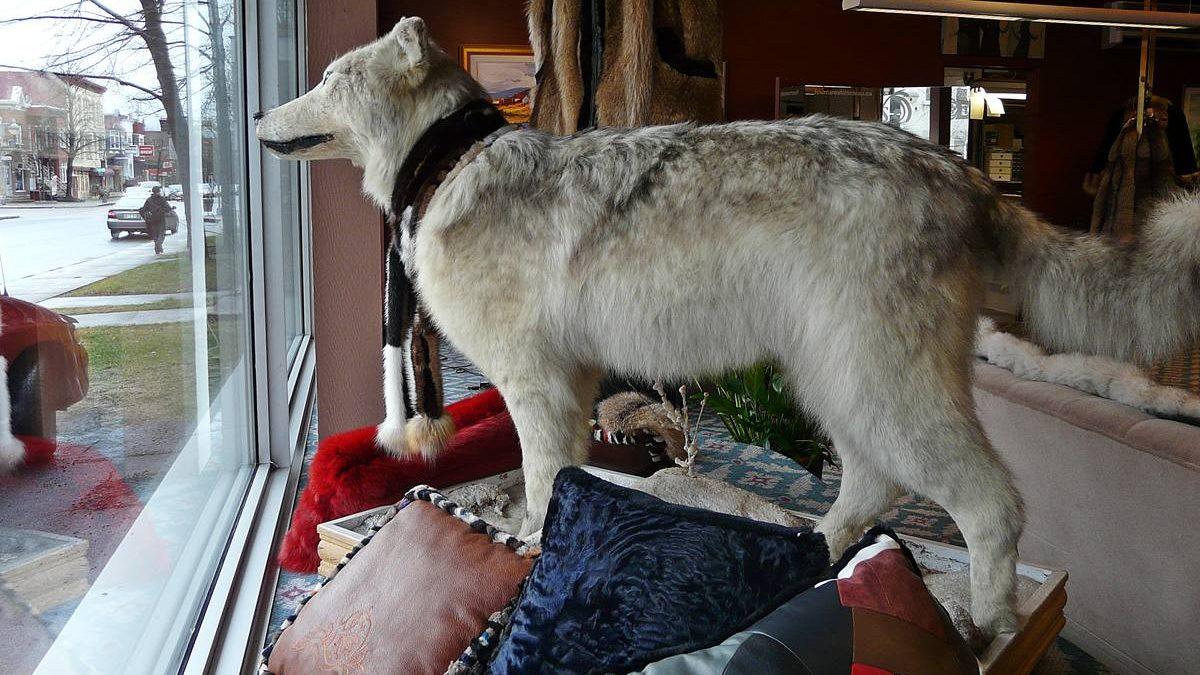 Le Loup, chez Fourrures Falardeau. Avril 2012.