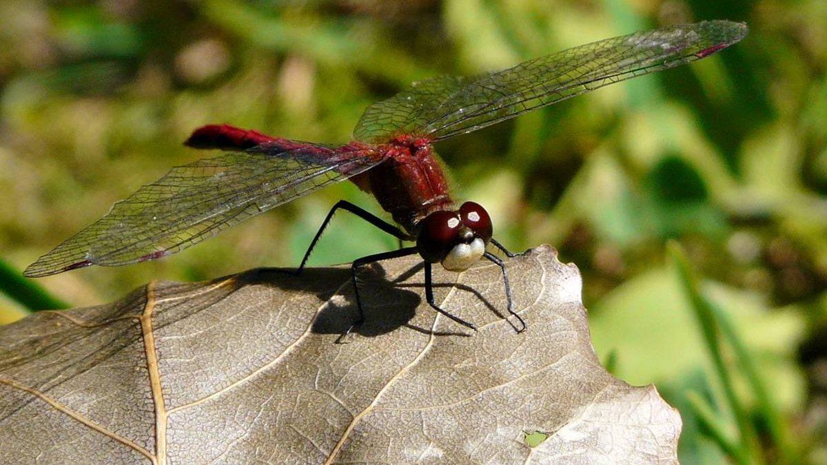 Regards sur la nature limouloise (2): les libellules du Domaine de Maizerets | 28 juillet 2020 | Article par Jean Cazes