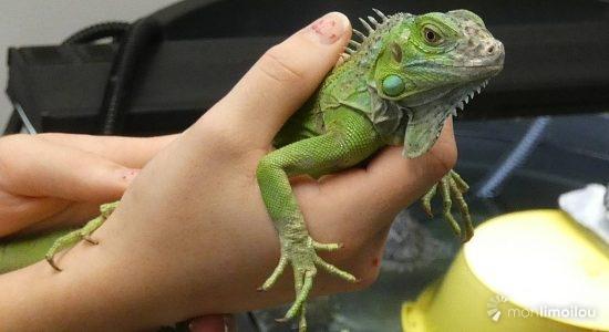 Coulson, iguane vert, Amérique centrale et du Sud.