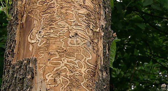 Agrile du frêne : 500 arbres traités par la Ville de Québec - Céline Fabriès