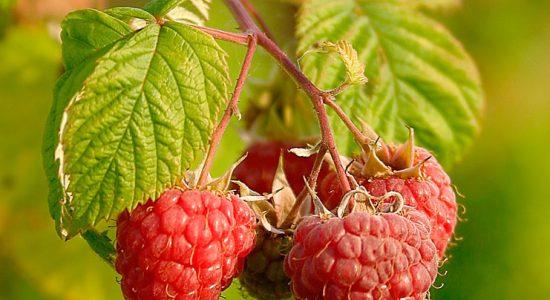 Plantes médicinales et cycle menstruel