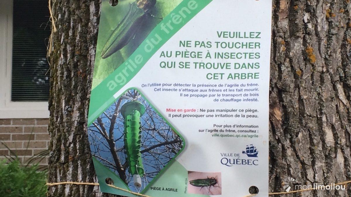 Agrile du frêne : le dépistage comme frein à la propagation | 2 août 2018 | Article par Caroline Roy-Blais