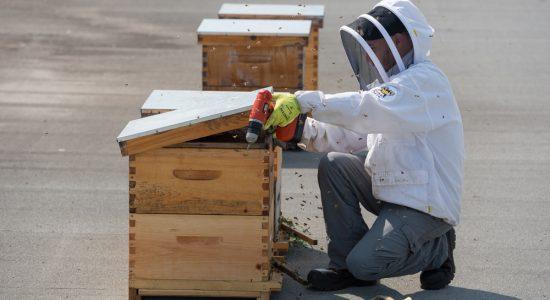 En 2016, le Cégep Limoilou installait des ruches sur son toit afin de sensibiliser la population à la situation vulnérable dans laquelle se trouvent les abeilles - dont le miel est par ailleurs vendu chaque automne, lors de la récolte.