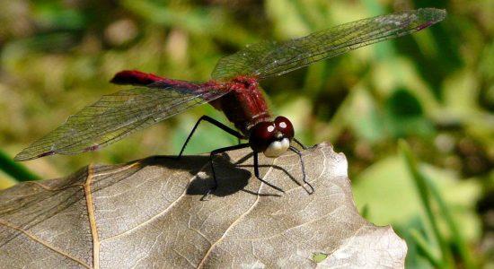 Regards sur la nature limouloise (2): les libellules du Domaine de Maizerets - Jean Cazes
