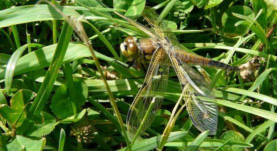 Libellule du sous-groupe des Anisoptères. Arboretum. 16 juin 2012.