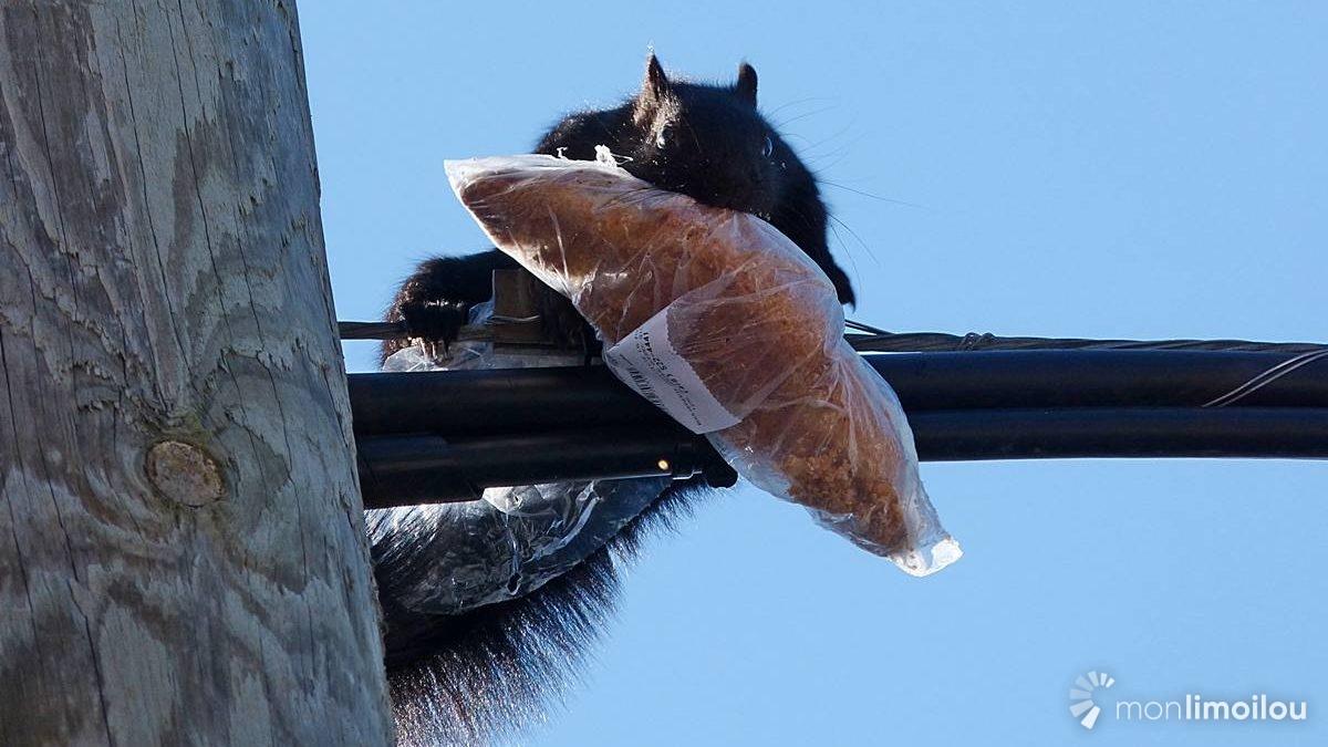 Regards sur la nature limouloise : l'écureuil, aussi apprécié que mal-aimé | 7 octobre 2020 | Article par Jean Cazes