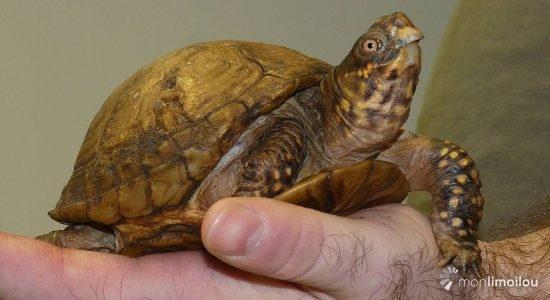 Patch, tortue boîte à trois doigts, États-Unis.