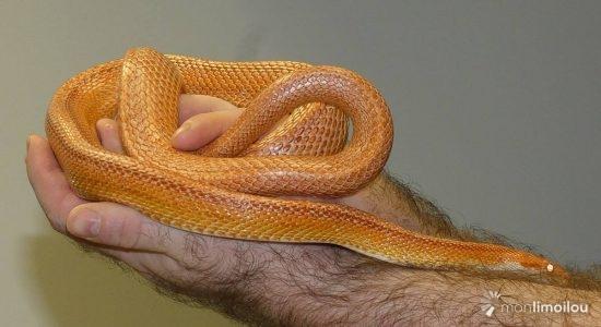 G2, serpent des blés, États-Unis.