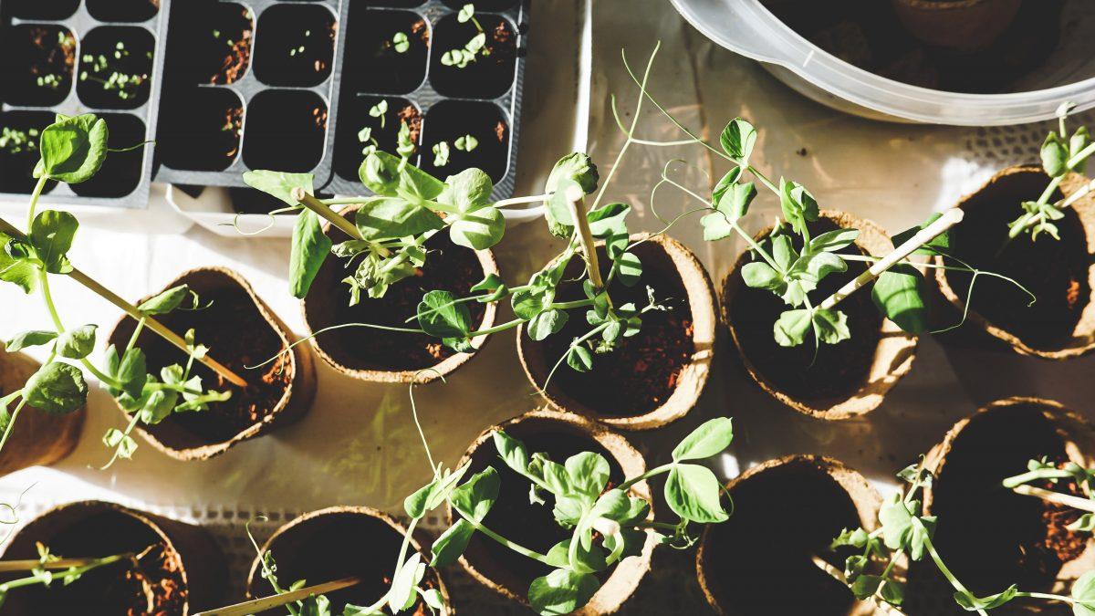 Le conseil de quartier du Vieux-Limoilou distribuera des plantes vivaces en mai | 29 avril 2021 | Article par Gabriel Côté