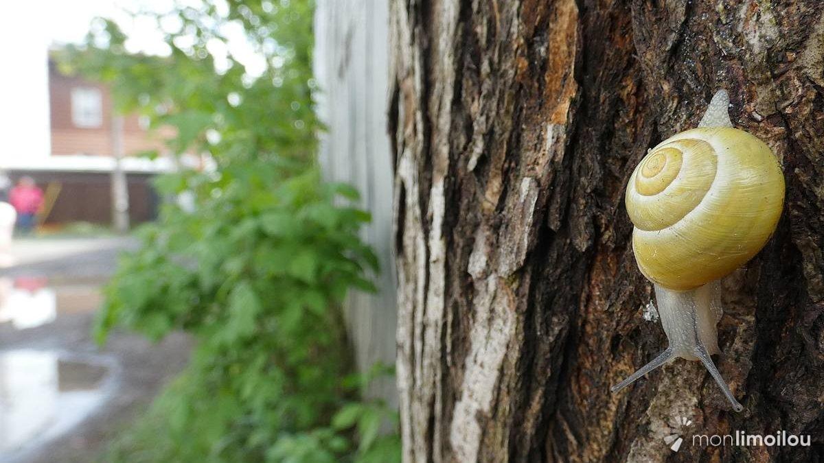 Regards sur la nature limouloise (6) : les escargots de la ruelle des... Escargots | 12 juin 2021 | Article par Jean Cazes
