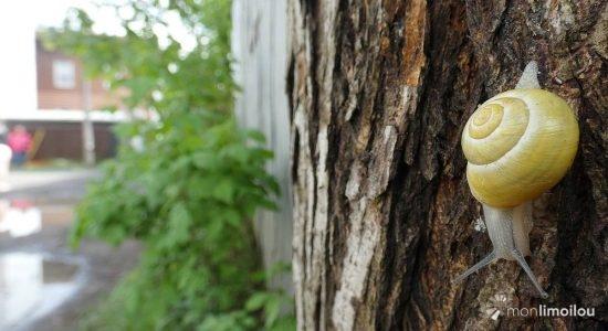 Regards sur la nature limouloise (6) : les escargots de la ruelle des… Escargots - Jean Cazes