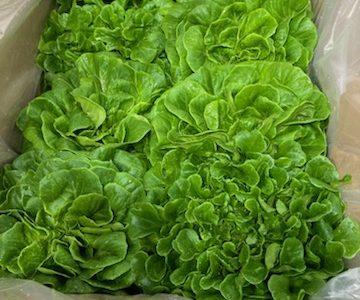 Des salades cultivées avec le système Gigrow.