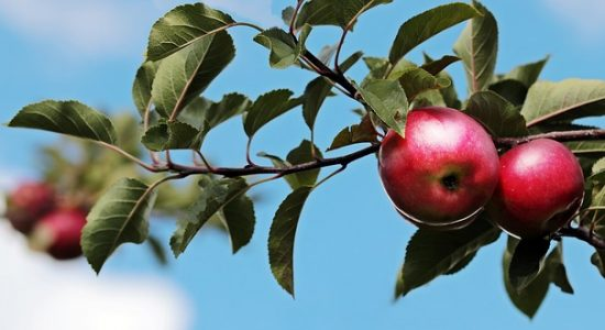 Activité annuelle de cueillette de pommes – L'Arche l'Étoile